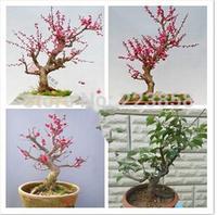 50 pcs / bag,Plum flower seeds, Lilium brownii, DIY planting flowers, planting seasons, flowering plants
