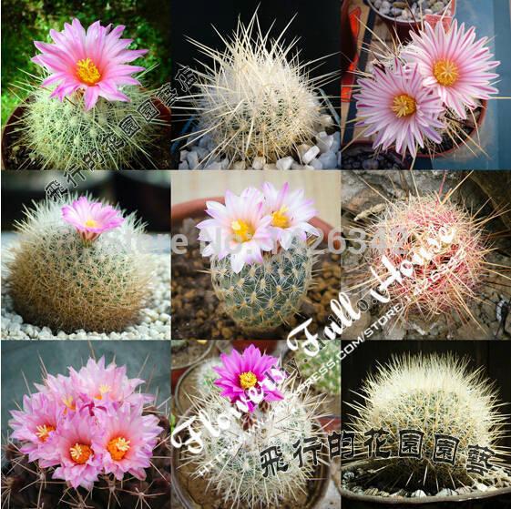 Mix 20 seeds one pack of flowering succulent plants mini cactus plants bonsai tree succulent seeds for casa e jardim(China (Mainland))