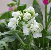 New Home Garden Plant 20 Seeds Stock White Matthiola Incana Ten Week White Flower Seeds Free Shipping