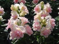 New Home Garden Bonsai Plant 20 Seeds Snapdragon Antirrhinum Majus Maximum Appleblossom Flower Seeds Free Shipping
