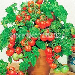 200 семена -  вилма  томатный семена фрукты овощи семена ( органический ) удачные семена семена тыква волжская серая
