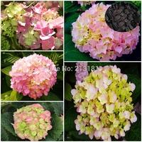 100 pcs Flower seeds Light Pink  Hydrangea evergreen woody flowering long Hydrangea seeds Free shipping