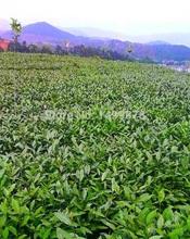 Free Shipping promotion 140g Top grade Taiwan High Mountain Alishan Dong Ding Wulong Tea Dongding Oolong