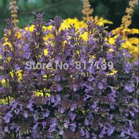 New Home Garden Plant 10 Seeds Nepeta transcaucasica 'Blue Infinity' Catmint Hardy Perennial Flower Seeds