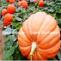 Qingfeng Farm - a giant pumpkin on the 1st 100kg- - vegetable, melon seeds (seeds) package home garden seeds - free shipping