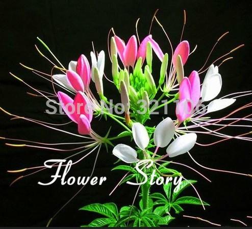 Карликовое дерево Flower story 30 , карликовое дерево oem 12 220
