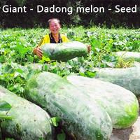 Qingfeng Farm --088 big meat - East melon seeds - Giants - East melon - (seeds)- free shipping