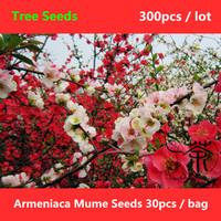 Beautifying Plum Blossom Armeniaca Mume Seeds 300pcs, Flowering Plant Chinese Plum Tree Seeds, Deciduous Tree Prunus Mume Seeds