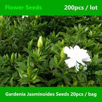 Gardenia Jasminoides Seeds For Planting 200pcs, Common Gardenia Cape Jasmine Flower Seeds, Family Rubiaceae Cape Jessamine Seeds