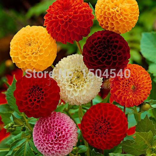 100 Dahlia seeds - Pompon~beautiful gardens, gorgeous flower , mix color , home garden(China (Mainland))