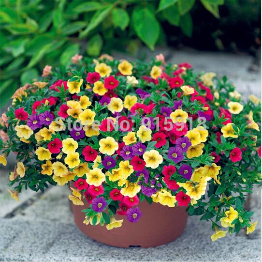Bonsai Petunia seeds shuttlecock flower horn sweet potato flower bonsai seeds - 200pcs,Free shipping(China (Mainland))
