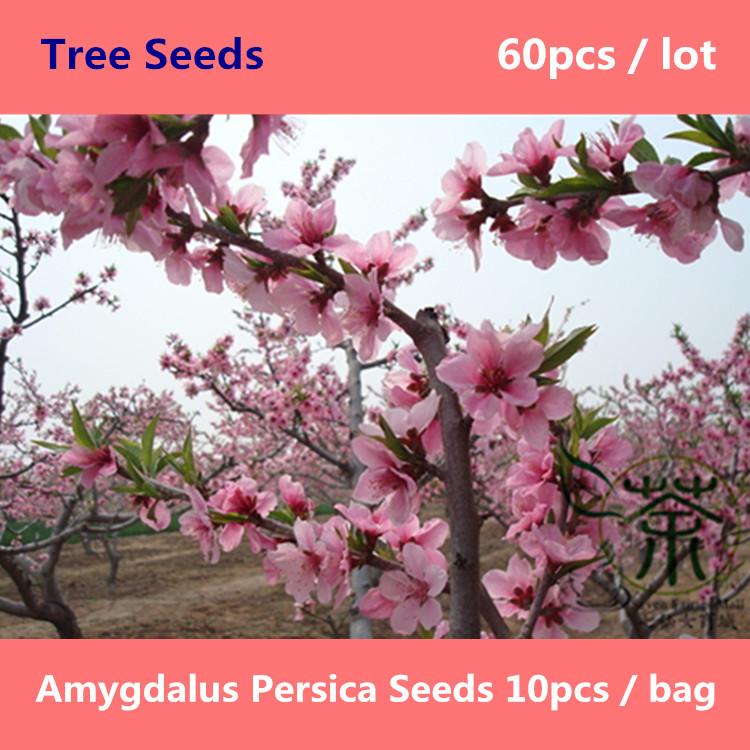 Prunus Persica Dwarf Peach Tree Deciduous Tree Prunus Persica
