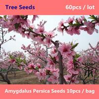 Deciduous Tree Prunus Persica Seeds 60pcs, Ornamental Flowering Plant Chinese Peach Tree Seeds, Family Rosaceae Tao Peach Seeds