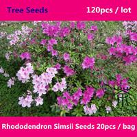 Deciduous Shrub Rhododendron Simsii Seeds 120pcs, Family Ericaceae Sims Azalea Tree Seeds, Landscaping Ornamental Du Juan Seeds