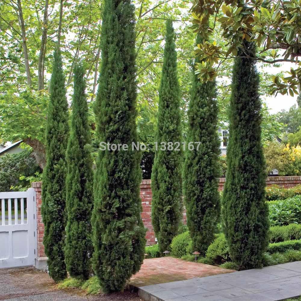 Cypress 100pcs árvores s