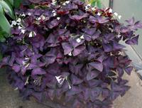 New Home Garden Plant 3 Seeds Purple Oxalis Triangularis Shamrock Flower Seeds Free Shipping