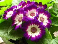 Dense flowers cineraria flower seed, 1Pcs/Lot(50 Seeds) ,1 Original Pack,Potted flower seed