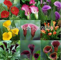 50 pcs/bag Calla Lily seed,common callalily,planting seasons, flowering plants mixed color