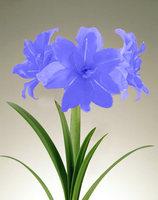 2 pcs / bag Amaryllis bulb, flower seeds, DIY potted plants, mixed colors