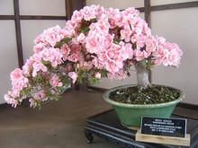 10pcs rare japanese sakura seeds  cherry blossom seeds Bonsai plants for home & garden
