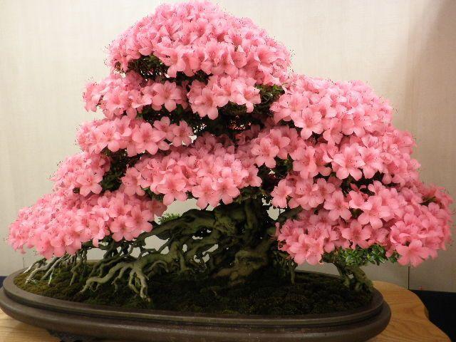10pcs rare japanese sakura seeds cherry blossom seeds Bonsai plants for home garden