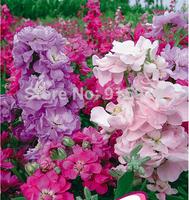 Bonsai flower seeds Garden Flowers Mix Color Oriental Violet Stock Flower 1 bag 50 pcs Seeds
