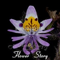 Free Shipping 50 Schizanthus Seeds, purple butterfly flower, beautiful, easy growing DIY Home Garden flower