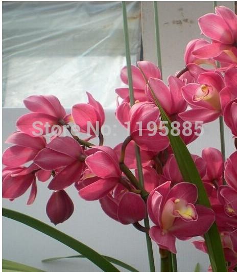 Карликовое дерево Large orchid flower 20/sementes semente YD34E постельное белье cleo постельное белье lindy 2 сп евро