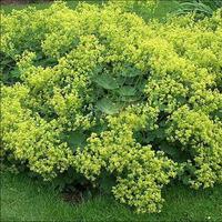 10pcs Lady 's Mantle (Achemilla Mollis) RHS meritorious award AGM varieties, rose associated herb Free Shipping