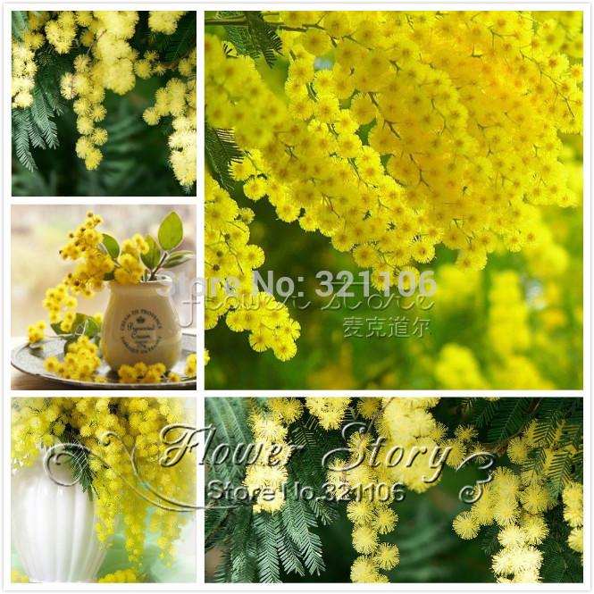 100 Golden  Mimosa  seeds,Acacia Baileyana Yellow Wattle Tree Flower  Seeds evergreen bonsai , fast growing, free shipping(China (Mainland))