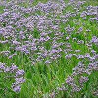 10pcs Statice (Limonium Latifolia Sea Lavender), perennial drought heat, dry flower material Free Shipping