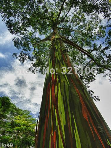 RAINBOW TREE 20 seeds Eucalyptus deglupta Mindanao Gum free shipping