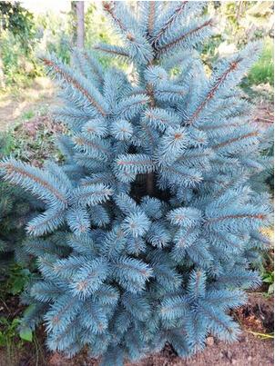 50 pcs/bag Colorado Blue Spruce (Picea Pungens ) Tree Seeds elegant shape Beautiful color evergreen conifer DIY Home Garden(China (Mainland))