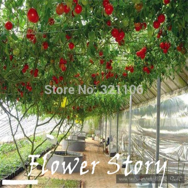 20 Italian Tree Tomato RARE HEIRLOOM SEEDS OF LIFE TOMATO GIANT TREE Free Shipping