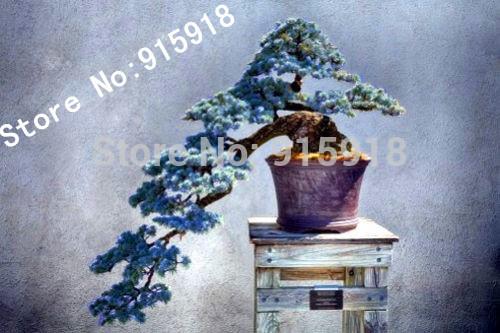 Bonsai Colorado Blue Spruce Picea pungens seeds 50pcs Evergreen tree