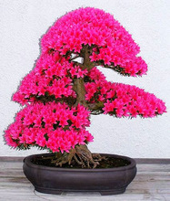 20 PCS/package the latest red cherry blossom seeds, the smallest bonsai tree - flowering plants(China (Mainland))