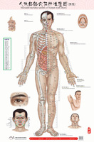 Male human meridian points Wallmap acupuncture massage point map a full human medical flipchart HD 3 chinese and English