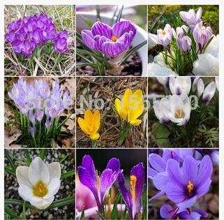 Saffron, Saffron seeds,saffron flower seeds In bloom all year round, garden decoration -100 seeds(China (Mainland))