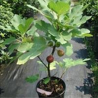 Original packaging 6pcs/bag Purple fig fruit seed milk berry seed green fruit seeds