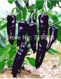 Zi / purple sweet pepper potted pepper seeds vegetable seeds balcony 50pcs(China (Mainland))