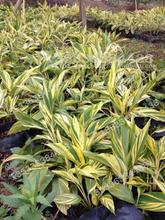 European Ginger Plant