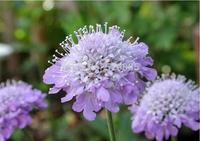 Scabiosa atropurpurea Seeds, Original Package, Sweet Bluebasin Flower seeds  - 20 Seed particles