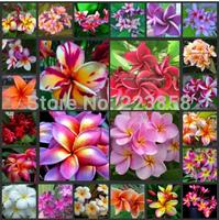 50 seeds Home Garden Frangipani PLUMERIA Rubra Lei Egg Flower Seeds