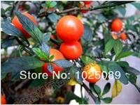 Solanum pseudocapsicum seeds, ornamental, representatives of auspiciousness,20pcs