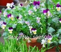 Small Angle pansy seeds, Viola cornuta, long flowering, perennial,20pcs