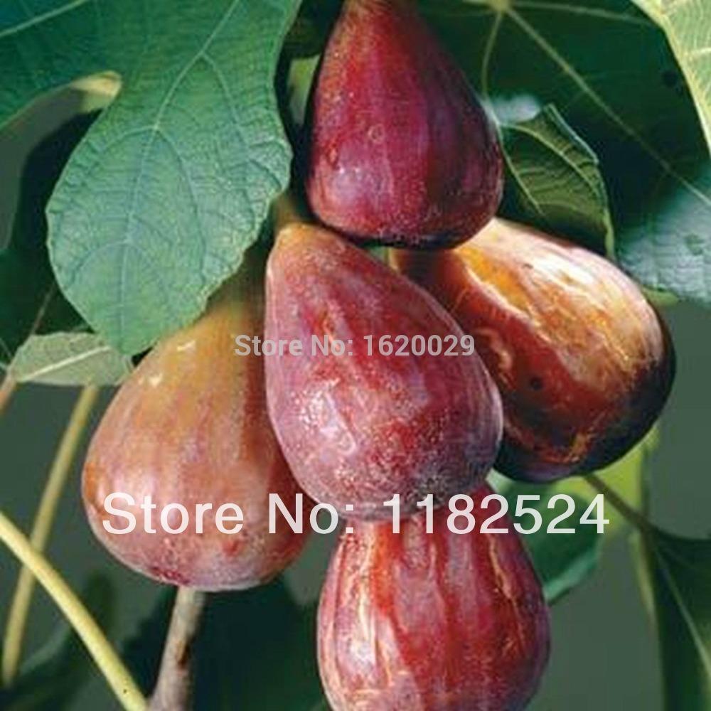 все цены на Карликовое дерево Ficus carica /200 F00005 в интернете