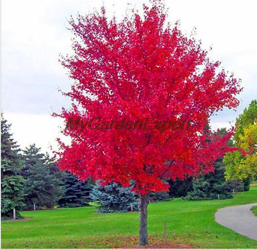 50pcs bag Bonsai American Maple Tree Seeds Big Plants Woody Plant Seeds Maple Tree Seeds Garden