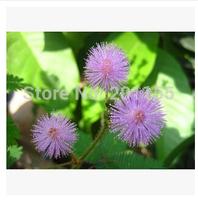 1 original pack 35 pcs Mimosa Seeds Bashfulgrass Seeds free shipping