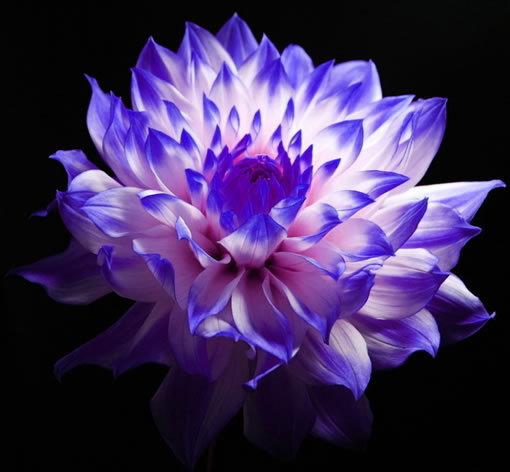 Dahlia Flowers in Pots Flower Pots Planters Blue
