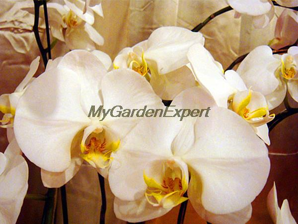 10pcs/pack Rare White Butterfly Orchid Seeds, Moth Orchid Seeds, Flower Seeds, Phalaenopsis, Garden DIY Pot Plant Free Shipping(China (Mainland))